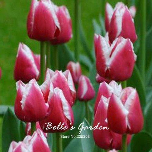 5pcs Rare Tulip Blanc Rouge Bulbes Bonsai fleur de tulipe Tulipa « Super Mark » jardin Plantes vivaces en pot bulbes