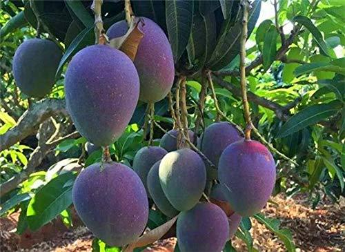 Casavidas 1 PC/bag Mango Pflanze Gaint Mango Tree Tropical Bonsai Bio-Hausgarten Obst & amp; Gemüse-Topf seedfor Blumentopf Pflanzer: 2