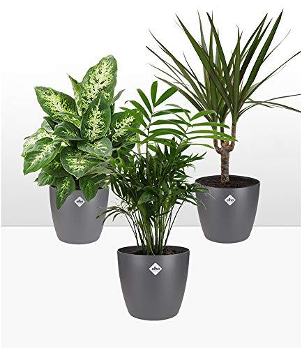 BALDUR-Garten | Luftreinigender Zimmerpflanzen-Mix inklusive Elho-Übertöpfe 'Grau';1 Set
