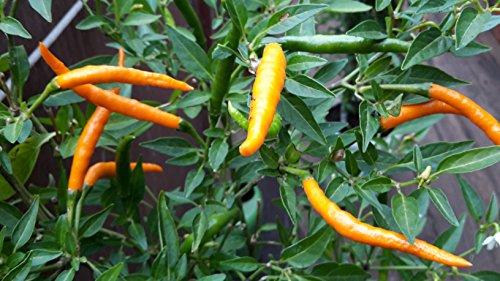 2 Töpfe Thai Orange Chili