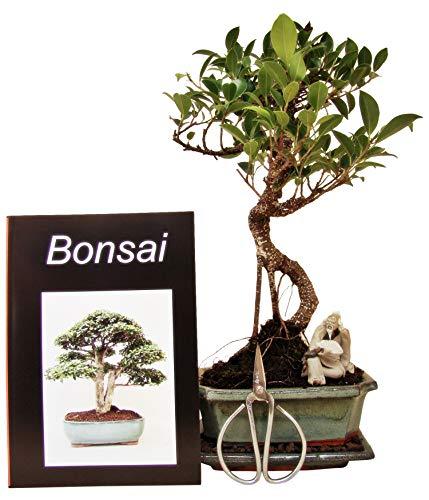 Bonsai Geschenkset Anfänger-Set Banjan Feige (Ficus), ca. 7 Jahre, ca. 30 cm hoch inkl. Schere und Keramikfigur (handgeformt)