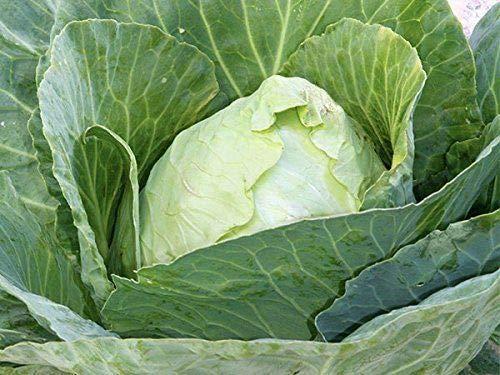 GEOPONICS 4 Unzen: HONEYDEW N Garden- GREEN FLEISCH - Nicht-GMO, HEIRLOOM - Honigtau FRUIT