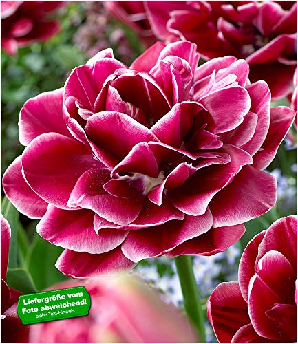 """BALDUR-Garten Rosentulpe""""Dream Touch""""; 8 Zwiebeln Tulipa"""