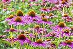 Echinacée bio française Solution buvable de plantes fraîches Immunité Origine France certifiée Certifié AB #2