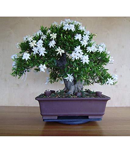 20Pcs Jasmine Seeds Bonsai Jasminum sambac Flowers White Jasmine Flower Very Fragrant Indoor Flowering Pot Plant Bonsai Plants