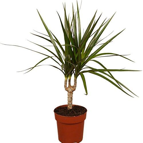 Dominik Blumen und Pflanzen, Ananas - Baum, Drachenbaum, Dracena marginata, 1 Pflanze, 15 - 17 cm Topf, ca. 50 cm hoch, Zimmerpflanzen, Kübelpflanzen