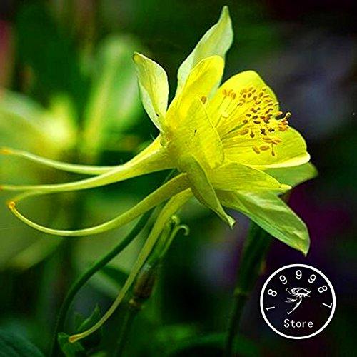 Time-Limit !! 100 Pieces / Sac graines authentiques Aquilegia rares légumes graines plantes à fleurs, 13 couleurs à choisir, # SZ1C27