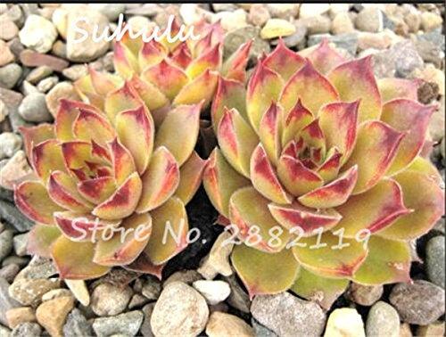 Pas cher 150 Pcs Mini Garden Succulentes Cactus Graines Variées Plantes vivaces Sempervivum Incroyable Maison Poireaux Cultivez Live Forever facile 14