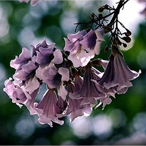 50 Piezas Semillas De Paulownia Jardín De Reliquia Anual Plantación En El Patio Variedad De Colores Flor Elegante Especie De Madera De Rápido Crecimiento