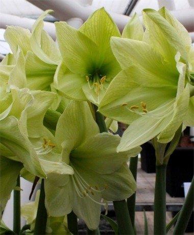 2 Amaryllis Luna énorme ampoule 30–36 cm. Excellent Cadeau de vacances. facile Grow ampoule.