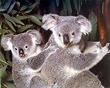 Baby, Baby-Koala-Bär, Mutter Wildlife Animal