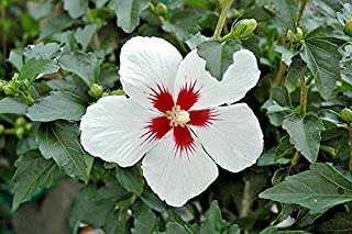 30 Lil Kim Rose of Sharon Seeds - Hibiscus syriacus
