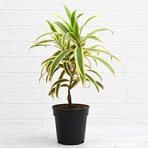 Relia Shield Song of India Live (Air Purifier Plant) with Pot