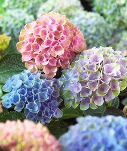 20 semillas / bolsa de semillas Hortensia, Hydrangea China, semillas de flor de hortensia, 12 colores, el crecimiento natural para jardín Plantar