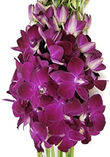 deep purple dendrobium orchids