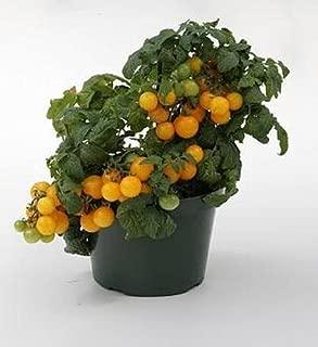 Sweet N Neat Yellow Tomato Seed
