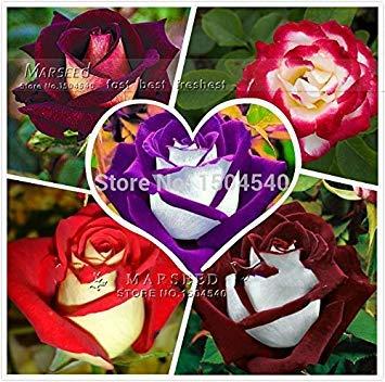 250 graines Abracadabra Rose, 5 différentes couleurs Rare Osiria Rose, variété populaire bricolage idéal Accueil bonsaï fleurs