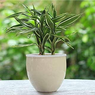 KINGDUO Egrow 30Pcs/Pack RARA Plata Corazón Suerte Bambú Semillas Bonsai Absorber Polvo Planta Árbol Anti Radiación Dracaena Home Garden