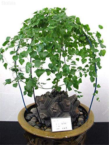 Vista 10pcs / sac Exotique Graines De Dioscorea Bonsaï Tortue Rampante Coquille Dioscorea Elephantipes Jardin Feuille Plante pour Pot De Fleur