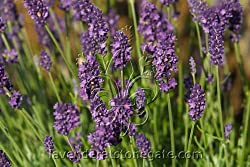 Buy Lavender Hidcote Superior Plants