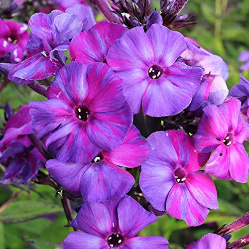 Keland Garten - 20pcs duftend Rarität Phlox reich blühend rosa/blau/violett/weiß, Blumensamen Mischung winterhart mehrjährig auf der Terrasse/Balkon