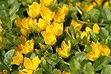 *Wasserpflanzen Wolff - Lysimachia nummularia - Pfennigkraut - Pfennig-Gilbweiderich - Münzkraut, gelb