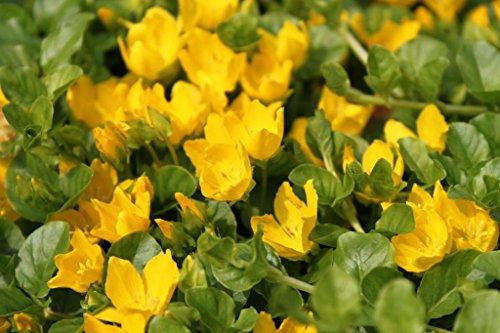 4er-Set im Gratis-Pflanzkorb - Lysimachia nummularia - Pfennigkraut - Pfennig-Gilbweiderich - Münzkraut, gelb - Wasserpflanzen Wolff