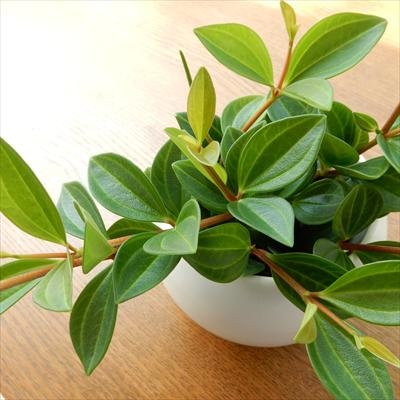 ペペロミア フォレット(観葉植物・9cmポット)