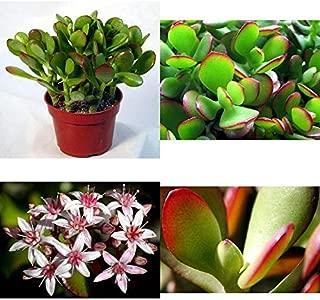 Jade Plant Crassula Ovuta Easy to Grow 4