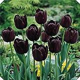 Tulipanes bulbos-Increíble ecologización de carreteras Aire purificador Boda Fácil de plantar Florece en primavera-negro,10bulbos
