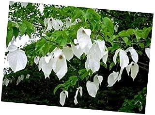 Seeds Davidia Involucrata Seed, Hardy Dove Tree, Handkerchief or Ghost Tree, USA