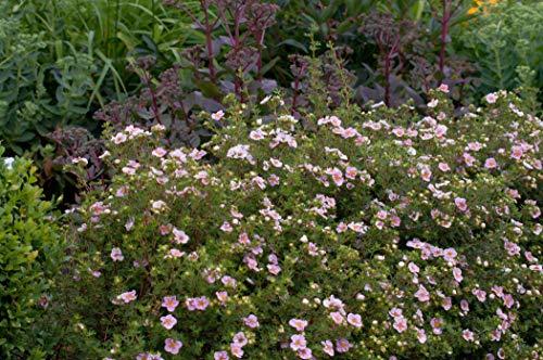 Potentilla 'rosa' Gemeiner Fingerstrauch immergrüner Bodendecker mit rosa Blüte im Topf gewachsen (1 Stück)