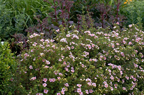 Potentilla 'rosa' Gemeiner Fingerstrauch immergrüner Bodendecker mit rosa Blüte im Topf gewachsen (10 Stück)