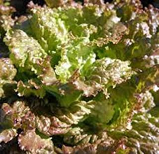 RED Romaine Lettuce Seed, Heirloom, Organic, Non GMO, 50+ Seeds