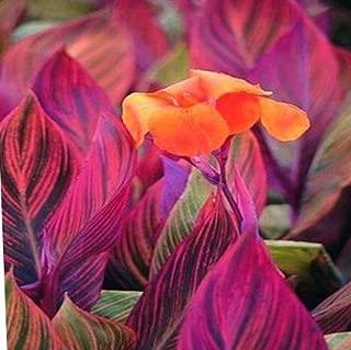 Spectacular Canna Lily