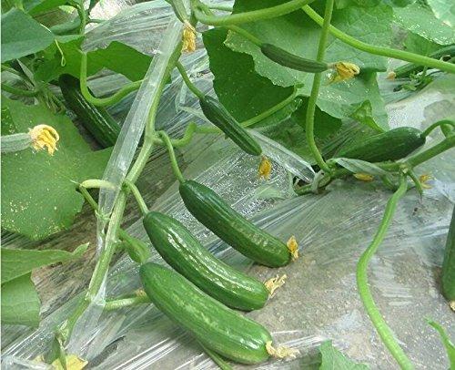 Hot vendre 6 pcs Bouteille Graines de courge, Graines de courge, Graines de légumes, jardin pour plante grimpante