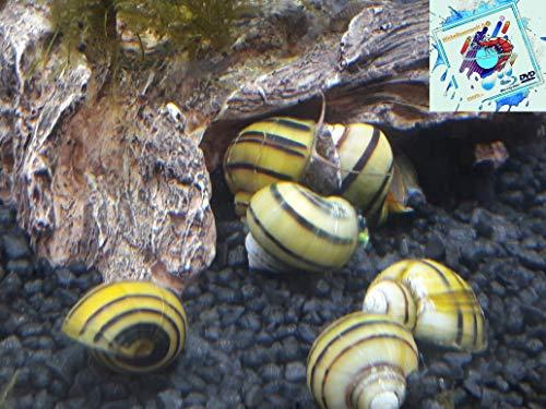 Topbilliger Tiere Zebra Apfelschnecke 3X [ Asolene spixi ] - für`s Aquarium