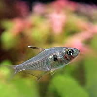 (熱帯魚)レッドファントムテトラ【ブリード】(約3cm)<5匹>[生体]