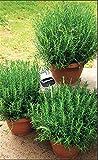 Risitar Graines - 20/50pcs Plant Romarin, Plants d'aromatiques Plants de légumes Graines et Potager Plantes vivaces résistante au froid