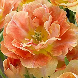 Tulip Bulbs - Charming Beauty - Bag of 10, Spring/Pink/Apricot Flowers