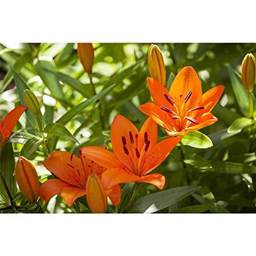 Lilie \'Tiny Invader\', orange, Asiatische Lilie - 3 Zwiebel im Topf 13 cm vorgetrieben, in Gärtnerqualität von Blumen Eber - 13 cm