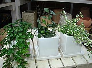 人気のあの商品♪ミニ観葉植物 3鉢セット販売(シッサスシュガーバイン・斑入フィカスプミラ・グリーンドラム)オシャレに決めたいインテリア陶器鉢 受け皿付き リビングに♪デスクに♪キッチンに♪ちょこっと置くだけ♪お誕生日のお祝いやプレゼントにも♪観葉植物