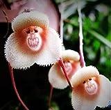 Monkey face Orchid - Affengesicht Orchidee - 20 Samen