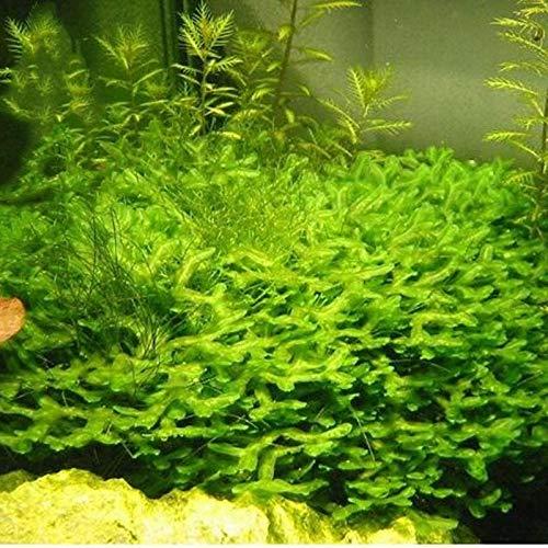 KINGDUO Egrow 200Pcs/Pack Moss Live Aquatic Plants Seeds Aquarium Water Grass Bonsai Flower Landscape Decoration Ornament-2