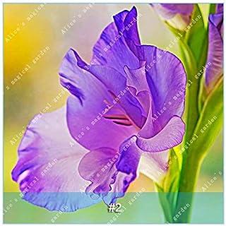 GEOPONICS Semillas: ZLKING 1 PC 15 tipos de bulbo gladiolo flor no Gladiolo fresco de alta germinación Tasa fácil de cultivar orquídeas Bonsai: 2