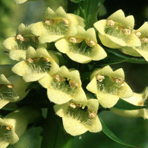 Plant World Seeds - Digitalis Lutea Seeds