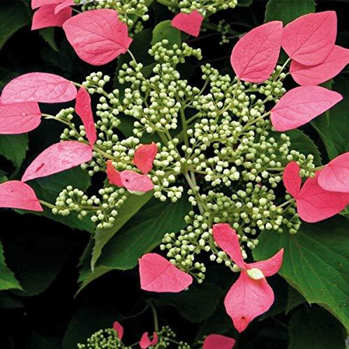 tomgarten Kletterhortensie 'Roseum' | große Blüten | pink | 1 Garten-Pflanze