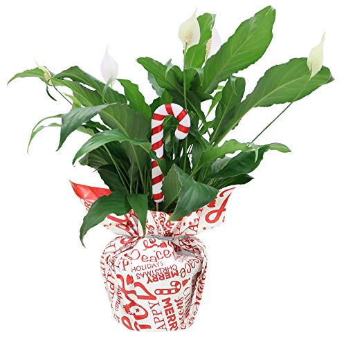 Costa Farms Peace Lily Spathiphyllum, Live Indoor Plant Decorated, 15-Inch, Everyday Gift-Wrap