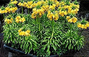 Potseed 10 PC/Bolso Semillas Corona Imperial 9 Colores Fritillaria Imperialis Semillas molidas CoverFlower Semillas Tiesto Home Garden 4