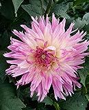 Dalias bulbos,FloracióN Larga Hermosa Y Hermosa Floració-1,5bulbos